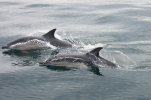 Dolphins in West Cork